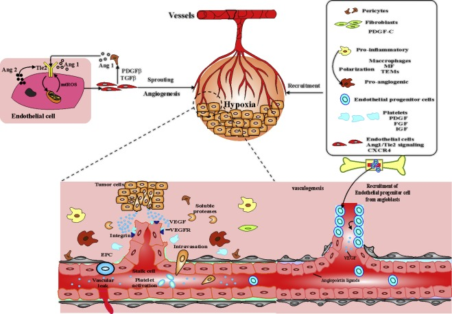 Therapeutic targeting of angiogenesis molecular pathways in ...
