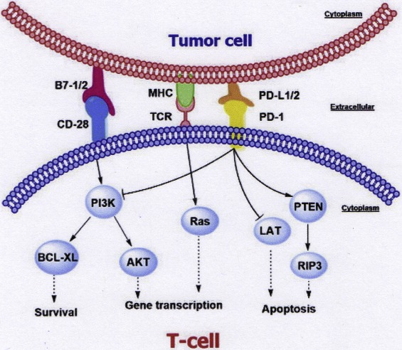 Pd 1 Pd L1 Blockade As A Novel Treatment For Colorectal Cancer Sciencedirect