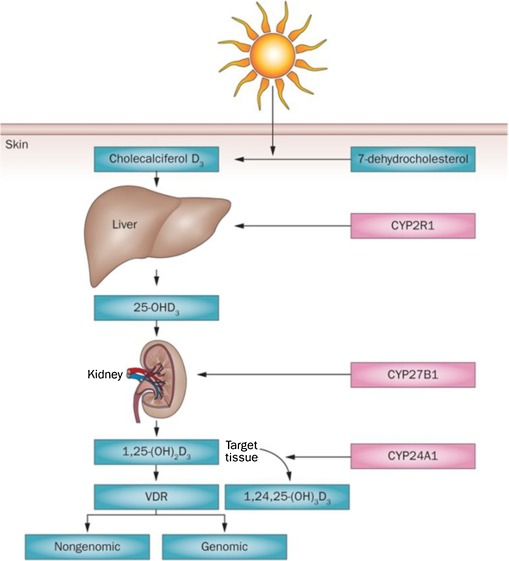 Role of vitamin D and vitamin D receptor (VDR) in oral
