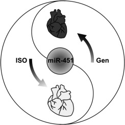 Genistein reverses isoproterenol-induced cardiac hypertrophy by