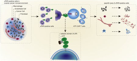 Basing On Upar Binding Fragment To Design Chimeric Antigen Receptors Triggers Antitumor Efficacy Against Upar Expressing Ovarian Cancer Cells Sciencedirect