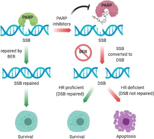 Mechanism And Current Progress Of Poly Adp Ribose Polymerase Parp Inhibitors In The Treatment Of Ovarian Cancer Sciencedirect