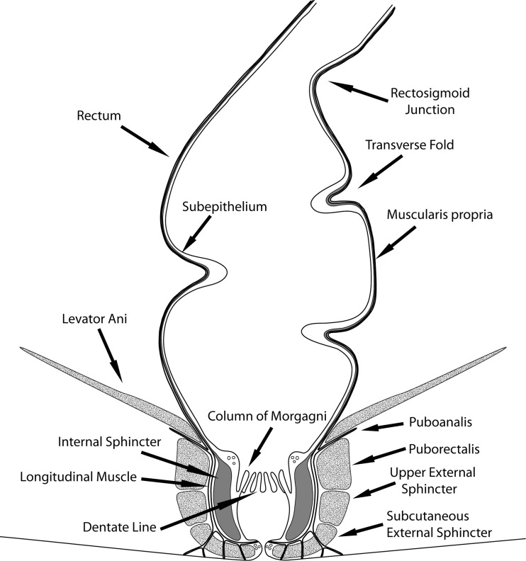 Correlative Anatomy Of The Anus And Rectum Sciencedirect