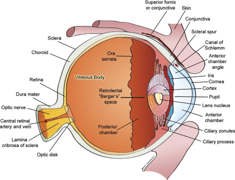 Ocular Anatomy and Cross-Sectional Imaging of the Eye - ScienceDirect