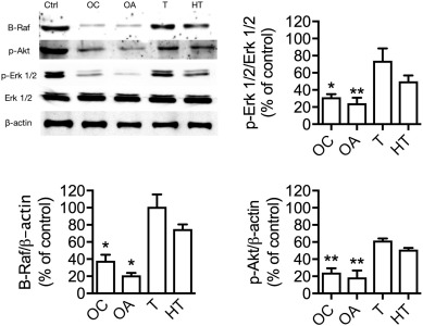 Oleocanthal and oleacein contribute to the in vitro