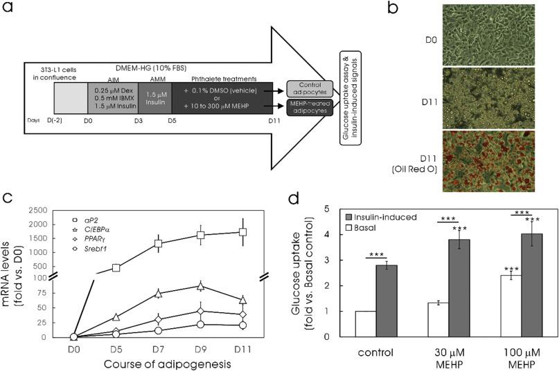 Fibroblast growth factor 21 secretion enhances glucose uptake in ...