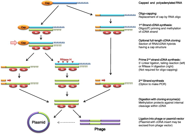The current status of cDNA cloning - ScienceDirect
