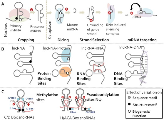 Genomic variations in non-coding RNAs: Structure, function