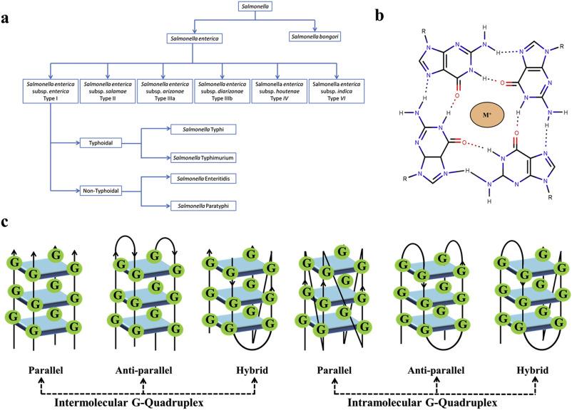 human papillomavirus g quadruplexes curățarea antiparazitară a corpului