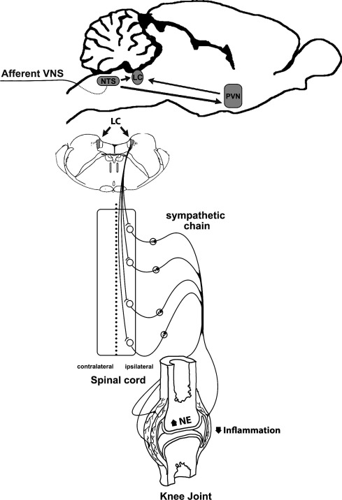 Modulation Of Experimental Arthritis By Vagal Sensory And Central