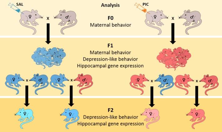 Prenatal Infection May Alter Behavior >> Impact Of Maternal Immune Activation On Maternal Care Behavior