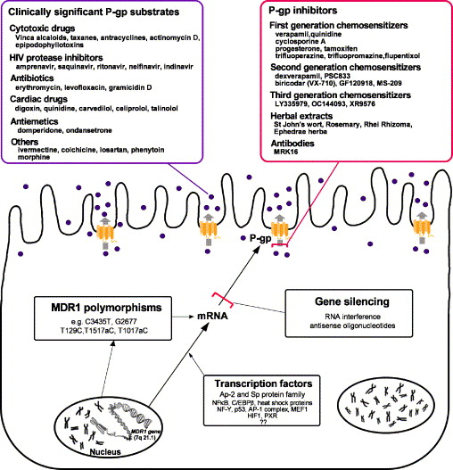 p-glycoprotein in the placenta: expression, localization, regulation