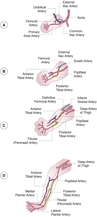 Vascular Ontogeny Within Selected Thoracoabdominal Organs And The