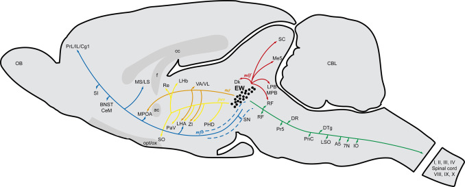 Diagram Of Rat Brain Residential Electrical Symbols