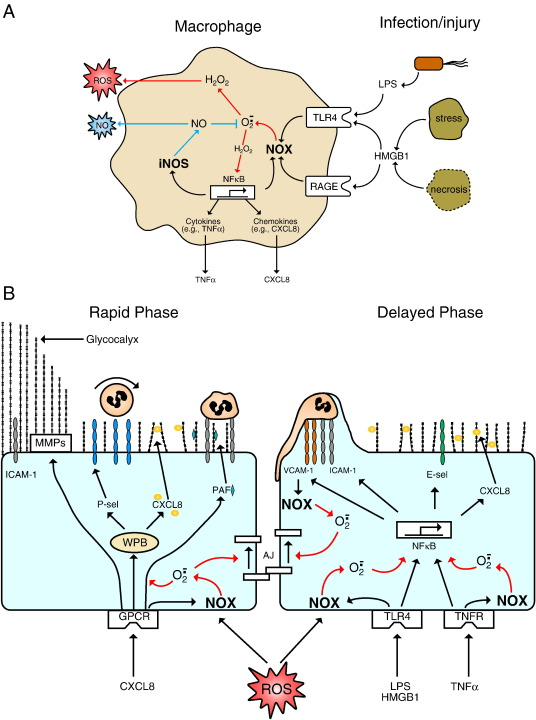 Role of reactive oxygen and nitrogen species in the vascular