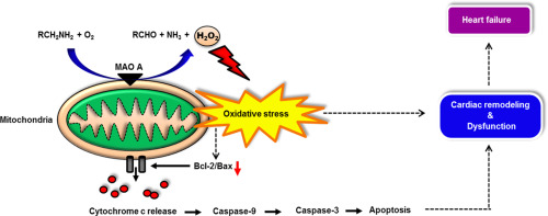 monoamine oxidase a is an important source of oxidative stress and