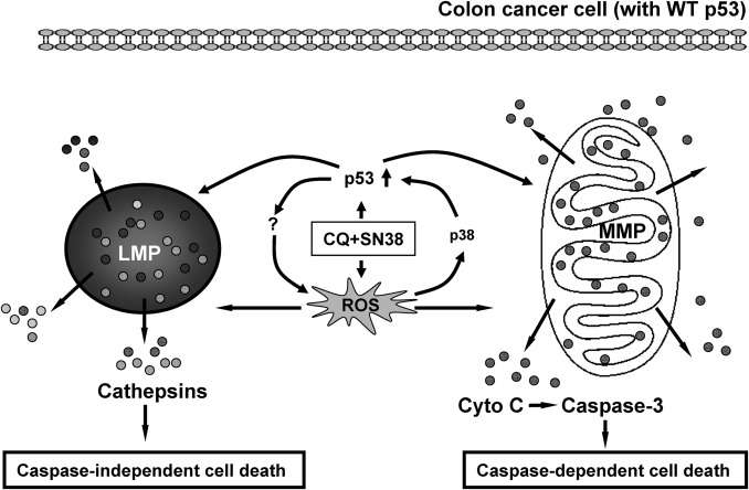 Cq Synergistically Sensitizes Human Colorectal Cancer Cells To Sn 38 Cpt 11 Through Lysosomal And Mitochondrial Apoptotic Pathway Via P53 Ros Cross Talk Sciencedirect