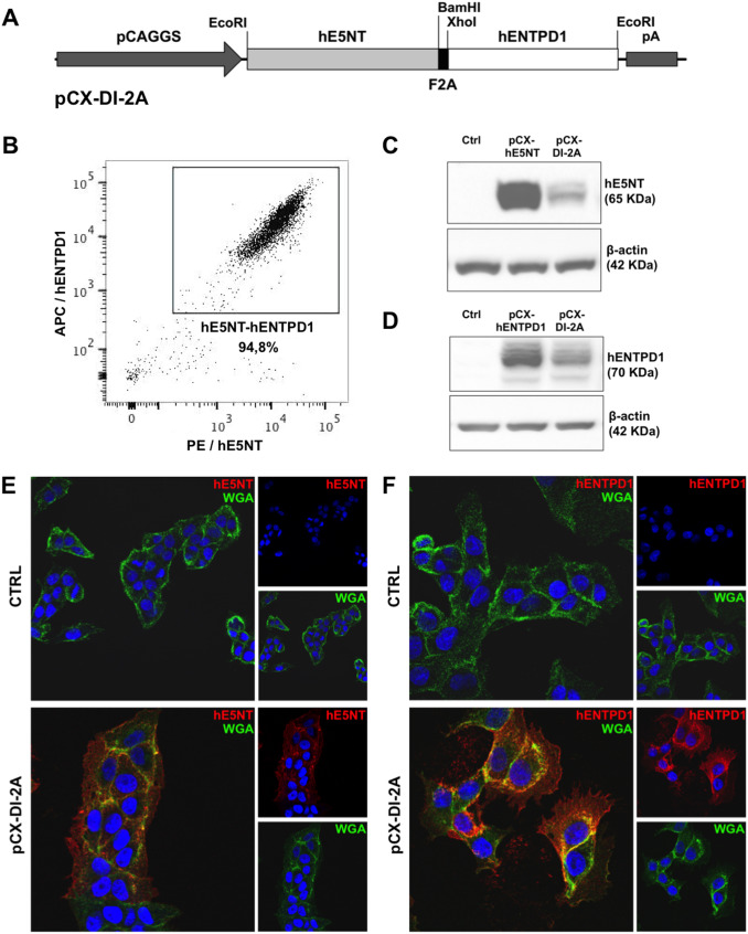 Simultaneous overexpression of human e5nt and entpd1 protects fig 1 ccuart Images