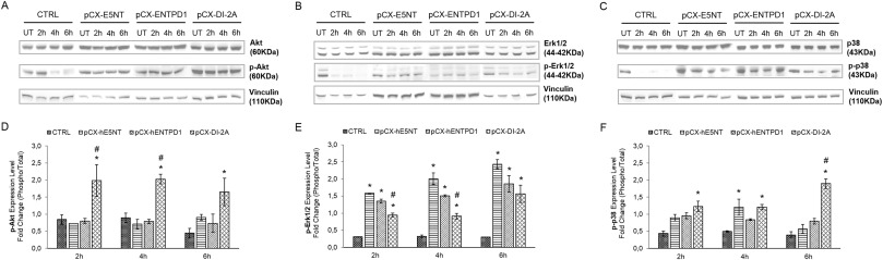 Simultaneous overexpression of human e5nt and entpd1 protects fig 9 ccuart Images