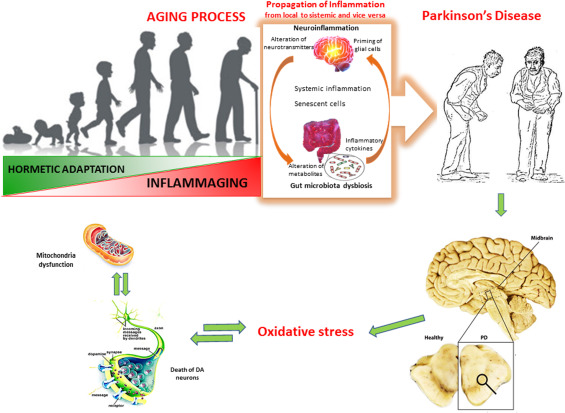 Aging And Parkinson S Disease Inflammaging Neuroinflammation And