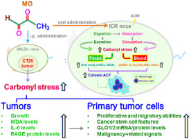 Methylglyoxal Displays Colorectal Cancer Promoting Properties In The Murine Models Of Azoxymethane And Ct26 Isografts Sciencedirect