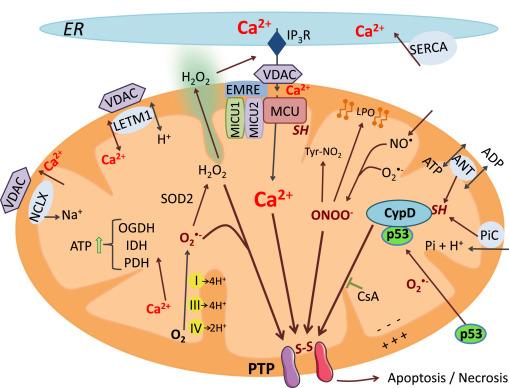 Mitochondrial calcium transport and the redox nature of the calcium