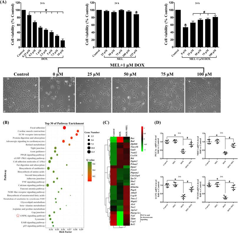AMPK/PGC1α activation by melatonin attenuates acute