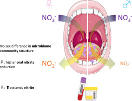 Sex differences in the nitrate-nitrite-NO• pathway: Role of