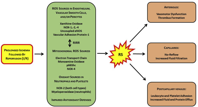Reactive species-induced microvascular dysfunction in