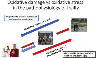 The free radical theory of frailty: Mechanisms and