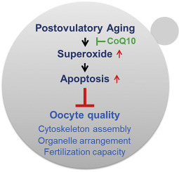 Coenzyme Q10 ameliorates the quality of postovulatory aged