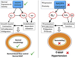 Nadph Oxidase In The Vasculature Expression Regulation And Signalling Pathways Role In Normal Cardiovascular Physiology And Its Dysregulation In Hypertension Sciencedirect Mc gui adlı sanatçının no talentinho (feat. nadph oxidase in the vasculature
