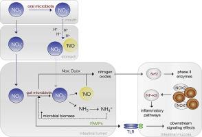 bästa kvalitet 100% autentisk lågt pris Nitrate from diet might fuel gut microbiota metabolism: Minding ...