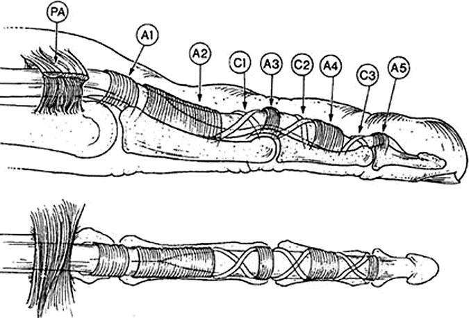 The Scientific Basis for Advances in Flexor Tendon Surgery ...