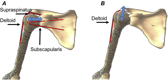 Anatomical and biomechanical framework for shoulder arthroplasty ...
