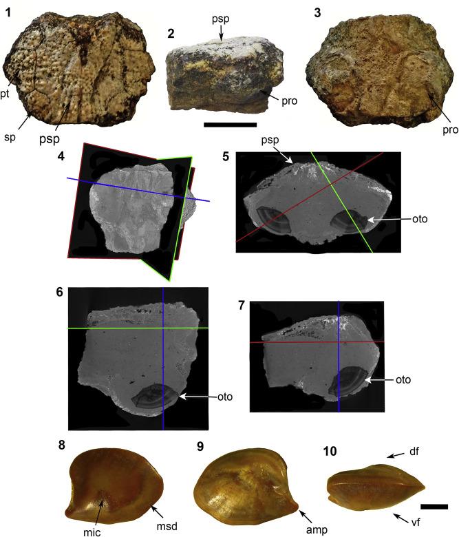 fossil sea catfish siluriformes