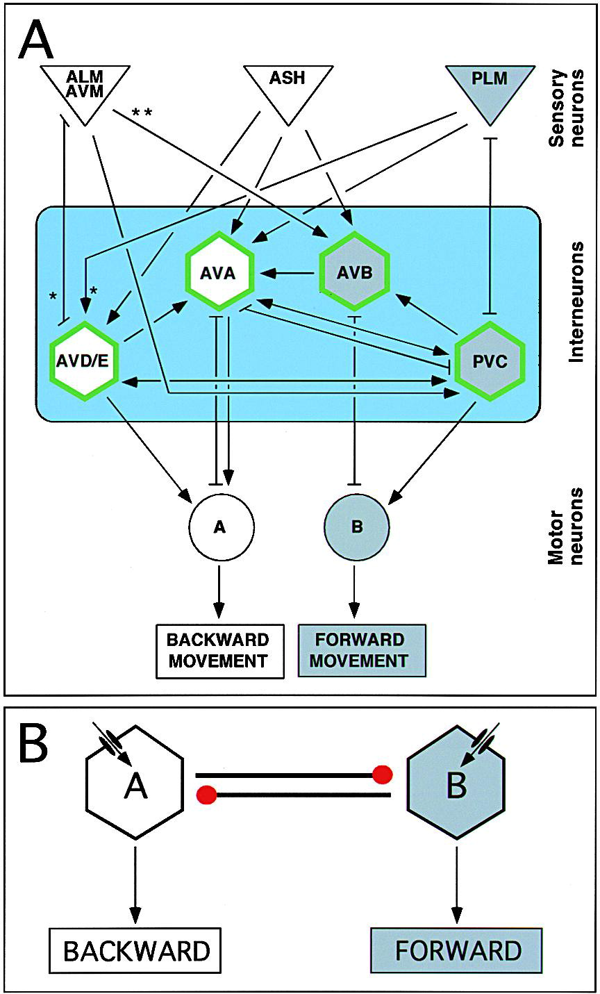 Neuronal Control of Locomotion in C. elegans Is Modified by a ...