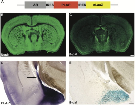 Sexual dimorphism in the mammalian limbic system