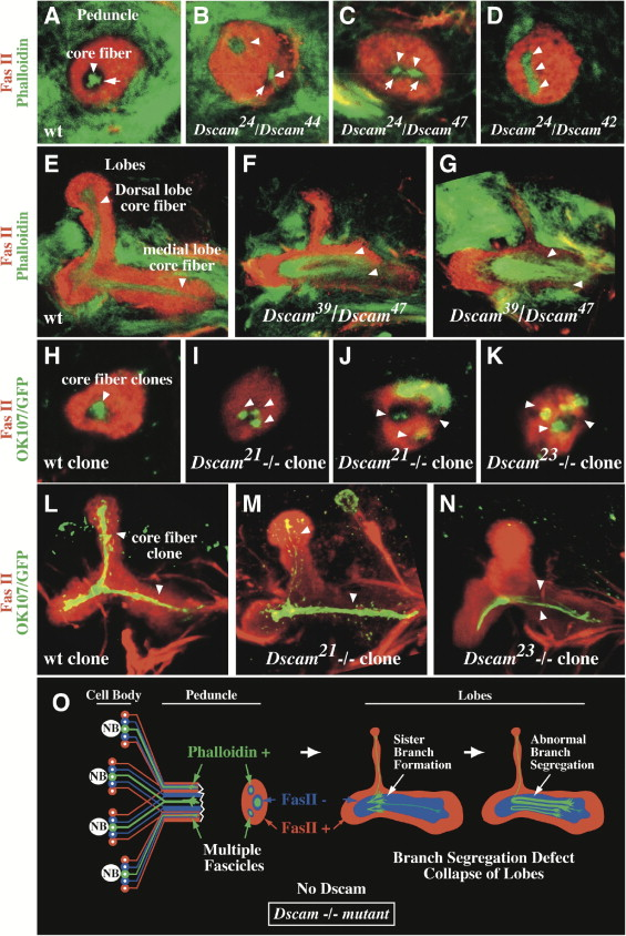Analysis of Dscam Diversity in Regulating Axon Guidance in