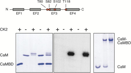 Protein Kinase CK2 Is Coassembled with Small Conductance Ca2