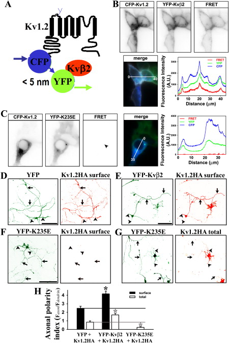 The Microtubule Plus-End Tracking Protein EB1 Is Required