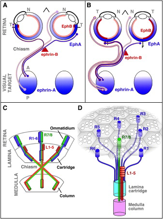 Development Of Continuous And Discrete Neural Maps Sciencedirect
