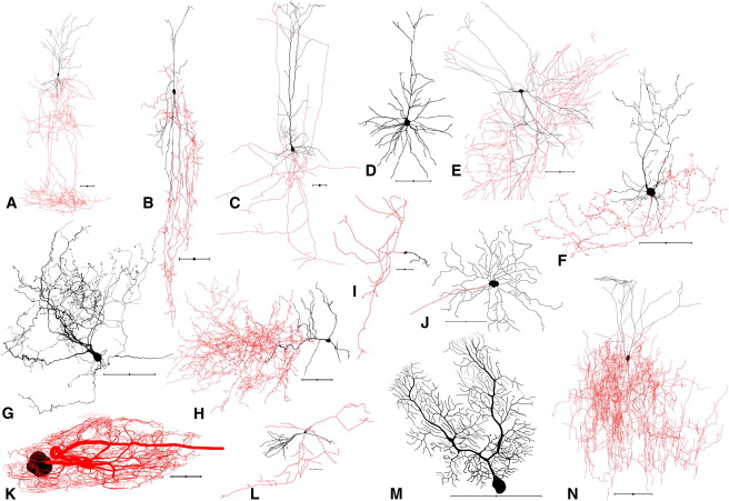 Neuronal Morphology Goes Digital: A Research Hub for Cellular and