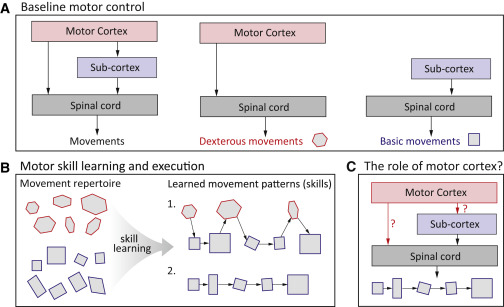 Motor Cortex Is Required for Learning but Not for Executing a Motor ...