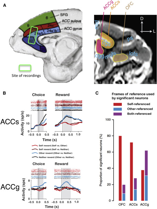 The Anterior Cingulate Gyrus And Social Cognition Tracking The
