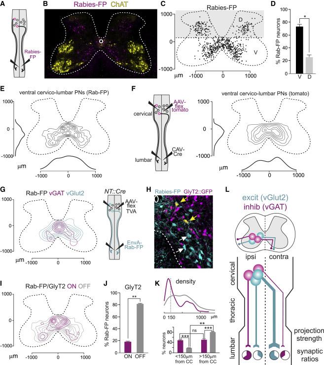 Long Distance Descending Spinal Neurons Ensure Quadrupedal Locomotor