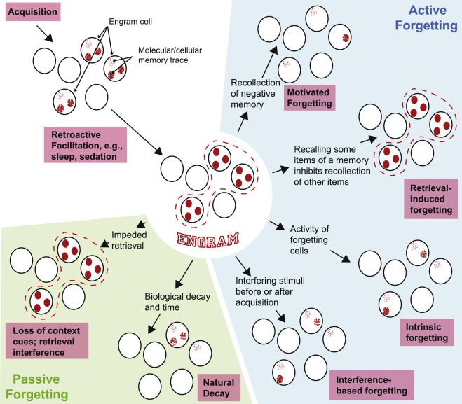 The Biology of Forgetting—A Perspective - ScienceDirect