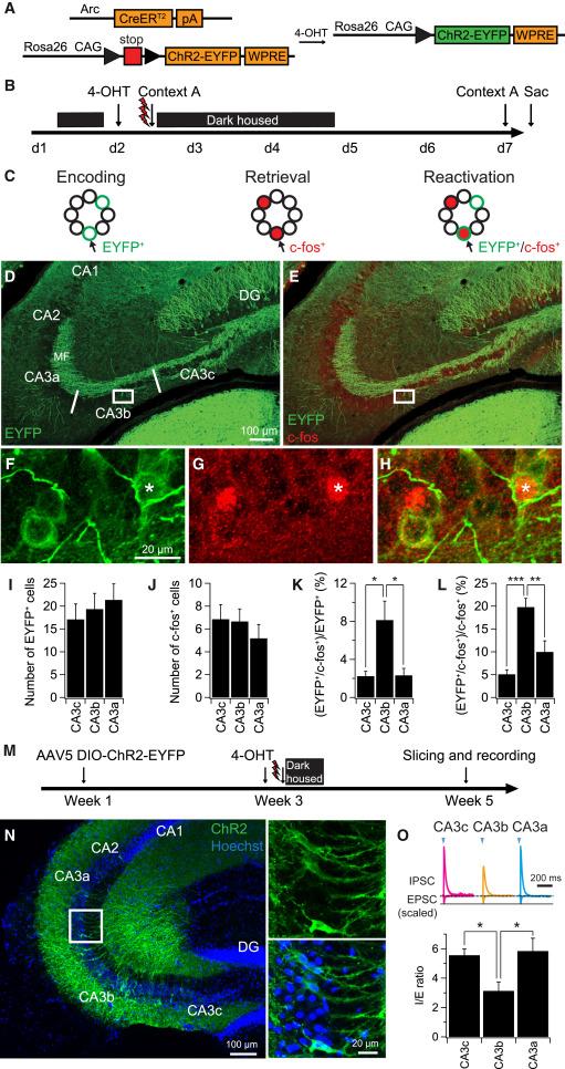Proximodistal Heterogeneity Of Hippocampal Ca3 Pyramidal Neuron