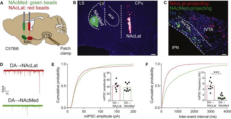 Nucleus Acbens Subnuclei Regulate Motivated Behavior via ... on