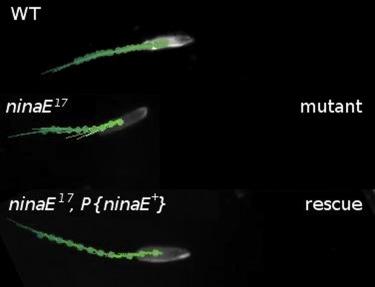 Proprioceptive Opsin Functions in Drosophila Larval